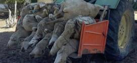 Un rayo mata a cuarenta ovejas en la finca La Ganchosa