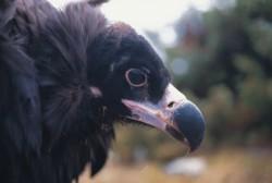 Medio Ambiente confirma la recuperación del buitre negro con la presencia de 93 parejas en el Parque Natural Sierra Norte de Sevilla