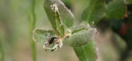 La burocracia impide tratar a tiempo una plaga de orugas en las encinas de la Sierra Norte de Sevilla