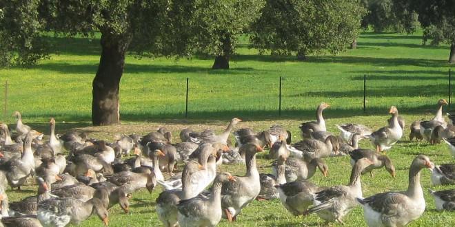 Dehesa Frías apuesta en Constantina por la diversificación en la dehesa con ocas de Toulouse