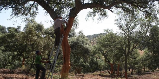 La saca de corcho, un trabajo tradicional con escaso relevo generacional en la Sierra Norte