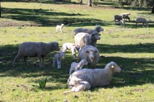 sierra-norte-constantina-ovejas-en-extensivo-3