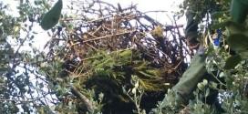 Medio Ambiente reconstruye tres nidos de buitre negro en la Sierra Norte de Sevilla para evitar su caída