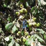 bellota-iberico