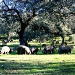 Cerdos en montanera