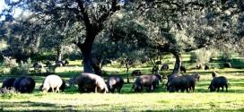 El Real de la Jara se prepara para el IX Rito Gastronómico con el cerdo ibérico como protagonista principal